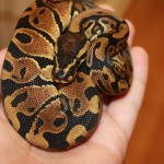 Just in this week, 6 normal ball pythons
