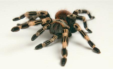 buy tarantulas in winchester invertebrates for sale